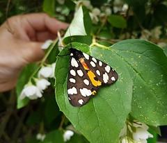 Schönbär (claudine6677) Tags: schmetterling nachtfalter schönbär scarlet tiger moth callimorpha dominula butterfly