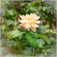 DSCF0173 (DrOpMaN®) Tags: flowersplants fuji fujifilm fujinon fujinonxc1650mmf3556ois korhankumral outdoor xe2 m43turkiye