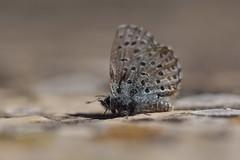 Soy mucha mariposa para tu estómago. (Elena m.d.) Tags: macromondays new macrofotografia nikon d5600 sigma sigma105 buterfly nature
