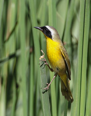 Common Yellow-throat (Eric Gofreed) Tags: commonyellowthroat warbler