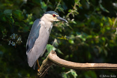 Night Heron (Silvio Sola) Tags: silviosola nitticora nightheron uccello bird swamp