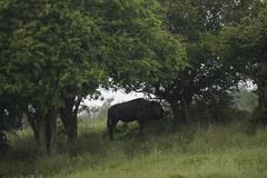 Sheltering wildebeest (PChamaeleoMH) Tags: kent mammals portlympnewildanimalpark wildebeest