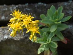 Sedum (François dt) Tags: em1markii olympus nature flower wildflowers gardenflower