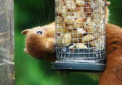 Peekaboo..x (Lisa@Lethen) Tags: cyril squirrel redsquirrel scotland highland garden peanuts feeder nature wildlife
