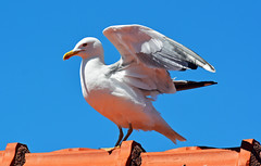 YELLOW LEGGED HERRING GULL (11birdman11) Tags: birds britishbirds butterflies bugs moths mammals