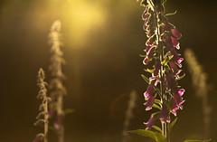 Foxgloves (Benjamin Joseph Andrew) Tags: summer pink wildflower flowering growing sunset warm beautiful meadow woodland