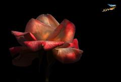 556 - The Rose (Joanot Photography) Tags: rosa flora joanot joanotbellver 2007 556 natura flower black