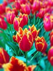Tulipmania des Jardins de Keukenhof, Amsterdam (Christian Chene Tahiti) Tags: samsung téléphone s7e mobile amsterdam hollande paysbas macro bokeh tulipe fleur jaune orange rouge tulip jardin keukenhof flowerfield