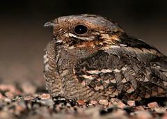 Red-necked Nightjar (Seán Ronayne Photography) Tags: bird nightjar redneckednightjar catalunya nocturnal birding birdwatching camouflage camo