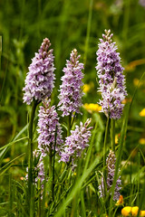 Common Spotted Orchid - Dactylorhiza fuchsii (Macro light) Tags: worcestershirewildlifetrust commonspottedorchid dactylorhizafuchii bigmeadow orchids flowers wildflowers