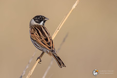 Reed Bunting (Simon Stobart) Tags: reed bunting emberiza schoeniclus north east england uk