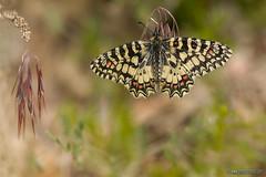 Zerynthia-rumina (Lucas Gutiérrez) Tags: zerynthiarumina mariposaarlequin laalpujarra sierranevada granadanatural buterfly