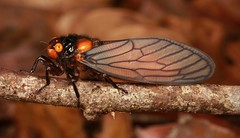 Cicada (Huechys sp., Cicadidae) (John Horstman (itchydogimages, SINOBUG)) Tags: insect macro china yunnan itchydogimages sinobug entomology canon cicada cicadidae hemiptera orange bokeh tweet fb
