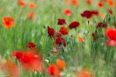 10062019-DSC_0070 (vidjanma) Tags: bokeh champ coquelicots fleurs