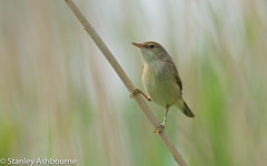 Reed Warbler (stanley.ashbourne) Tags: reedwarbler bird stanashbourne wildlife nature wildlifephotography avian reeds