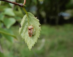 Parent bug (rockwolf) Tags: parentbug acanthosomatidae elasmuchagrisea punaise eggs ova hemiptera heteroptera insect birch cramergutter shropshire rockwolf