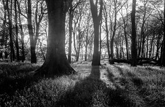 Shadows (Howie Mudge LRPS BPE1*) Tags: trees shadows zeisikonnettar 6x9 foldingcamera vintage classic camera landscape nature blackandwhite mono monochrome 120 120film analog analogphotography analogue mediumformat film filmphotography hc110 selfdevelop