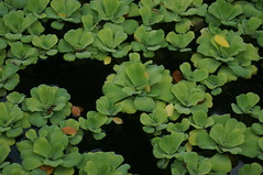 DSC02307- Floating Plant (oliveplum) Tags: leica60f28macro water gardensbythebay sony singapore green pond
