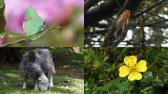 Bernard's Acre (Nick:Wood) Tags: bernardsacre nature wildlife greenhairstreak robin tormentil sheep belstone devon