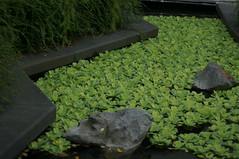 DSC02309- Watching the pond (oliveplum) Tags: gardensbythebay leica60f28macro pond sony singapore marinabay rock