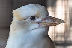 White Laughing Kookaburra (Merrillie) Tags: huntervalleyzoo nsw white kingfisher laughingkookaburra kookaburra nature australia whitelaughingkookaburra bird zoo fauna animals newsouthwales animal