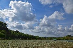 20190614_024_2 (まさちゃん) Tags: ダンボール 収穫 キャベツ畑 光 空 雲