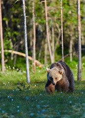 Bear (Jekurantodistaja) Tags: bear brownbear finland suomi swamp nature tree summer june outdoors sunsetlight cute animal wildlife ursusarctos grizzlybear scandinavia look forest flowers furry ursa bearcub beautiful adorable evening finnish arge brown creature europe european nordic fauna scandinavian strong ursus looking stare blossom flora eriophorum cottongrass cottonsedge mammal bloom grass predator plant vegetation young summertime walking russian oso urso bære bjørn karhu nalle otso orso くま kuma 熊 медведь 곰 animalportrait niedźwiedź miś bär medvěd medvídek teddybear orsacchiotto