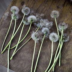 (helenarostunova) Tags: dandelion white background isolated flower seed nature plant spring wind summer head light blue fluffy single abstract growth pollen stem sky beauty close closeup life flora botany fragility beautiful up environment floral detail blow freedom blossom flying weed fragile