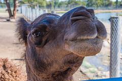 Camel Smooch (Merrillie) Tags: huntervalleyzoo nsw closeup face australia camel zoo fauna newsouthwales animals