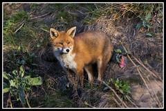 IMG_0319 Red Fox (Scotchjohnnie) Tags: redfox vulpes vulpesvulpes fox canidae canine vixen female mammal wildlife wildlifephotography wildanimal wildandfree nature naturephotography canon canoneos canon7dmkii canonef100400f4556lisiiusm scotchjohnnie