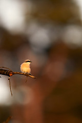 Neuntöter im Abendlicht (generalstussner) Tags: vogel bird neuntöter abendlicht abendsonne eveningsun sunset beautifullight natur nature wildlife canon