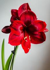 Amaryllis (james austin (photographer)) Tags: amaryllis