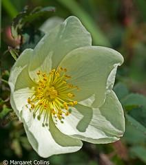Photo of Burnet Rose - Rosa Pimpinellifolia