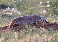 June 11, 2019 - A badger on the hunt. (Bill Hutchinson)