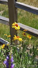 June 13, 2019 - Pretty backyard flowers. (Alisa H)