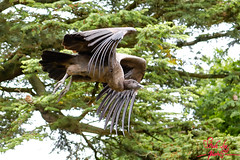 Andean Condor (SileeSoft) Tags: bird birds nature warwick castle falcon falconers quest hawk vulture wildlife raptor flight feathers andean condor birdsofprey