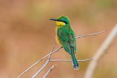 Little Bee-eater (Merops pusillus) (Allan Hopkins) Tags: manyara tanzania tza tarangirenationalpark eastafrica allanhopkins hoppy1951 littlebeeeater meropspusillus