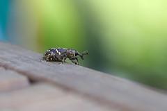 Examining our new terrace (elerinalbin) Tags: männikärsakas hylobius kärsaklased curculionidae insects insecta coleoptera mardikalised weevils
