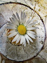 65 Million year old curve, and a pretty Daisy. (seanwalsh4) Tags: lawndaisy ammonite fossil 65millionyearoldfossil spiral love flowerpower seanwalsh curves macromondays happy floral polishedstone curve 17062019 hippy lovepeace jurassicperiod 200million65millionyearsago floatchambers nautilus extinct canon