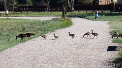 June 12, 2019 - Goose crossing in Eastlake. (Alisa H)