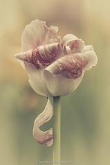 Beauté fanée (Yves Kéroack) Tags: morning flower macro nature fleur outside colorful bokeh extérieur printemps coloré jardinbotaniquedemontréal doux botanicalgardenmontreal spring tulip softfocus tulipe fading matin fanée