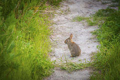 "Bunny Profile (A Great Capture) Tags: agreatcapture agc wwwagreatcapturecom adjm ash2276 ashleylduffus ald mobilejay jamesmitchell toronto on ontario canada canadian photographer northamerica torontoexplore spring springtime printemps 2019 bunny rabbit nature wildlife wild grass path dirt lesliestreetspit tommythompsonpark eos digital dslr lens canon 70d natur naturaleza natura naturephotography naturethroughthelens sigma ""150500mmf563apodgoshsm"" urbannature park parc side profile ears alert"