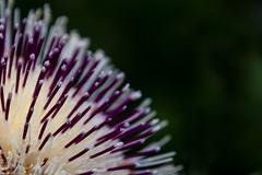 Biological hairbrush? (bhermann.hamburg) Tags: flower blume bluete pflanze plant makro macro ngc