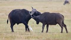A friendly fight between buffalos (Nagarjun) Tags: capebuffalo bigfive amboselinationalpark kenya africa