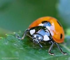 Ladybug (RoLiXiA) Tags: sardegna sardinia sardaigne sardinien cerdeña insetto coleottero coccinella ladybug macro giardino nikond90 sigma105 closeup