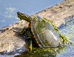 Up From the Depths (Scott M. Mohn) Tags: turtle reptile animal water pond shell green nature