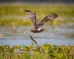 """S-Cargo"". (🐌 cargo) (DTT67) Tags: nature wildlife bird florida flight bif snailkite 14xtciii 500mmii canon canon1dxmkii 1dxmkii"