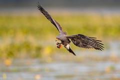"""S-Cargo"" (🐌 Cargo) (DTT67) Tags: snailkite florida bif 14xtciii 500mmii 1dxmkii canon1dxmkii bird canon nature wildlife"