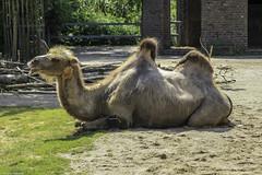 Zoo Krefeld (Christian Hoemke) Tags: animal animals canon canoneos1000d deutschland germany krefeld nrw nordrheinwestfalen northrhinewestphalia sigma sigmadc55200mm1456 zoo zookrefeld camel