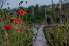 Switch and poppies. (Azariel01) Tags: 2019 belgique belgium ronet namur rail tracks voies infrabel sncb nmbs poppies coquelicots fleurs flowers pluie rain matin morning spring printemps wildflowers fleurssauvages switch aiguillage